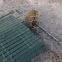 Illegaler Vogelfang: Ein Vogel, Ortolan, in einer illegalen Falle in Frankreich.