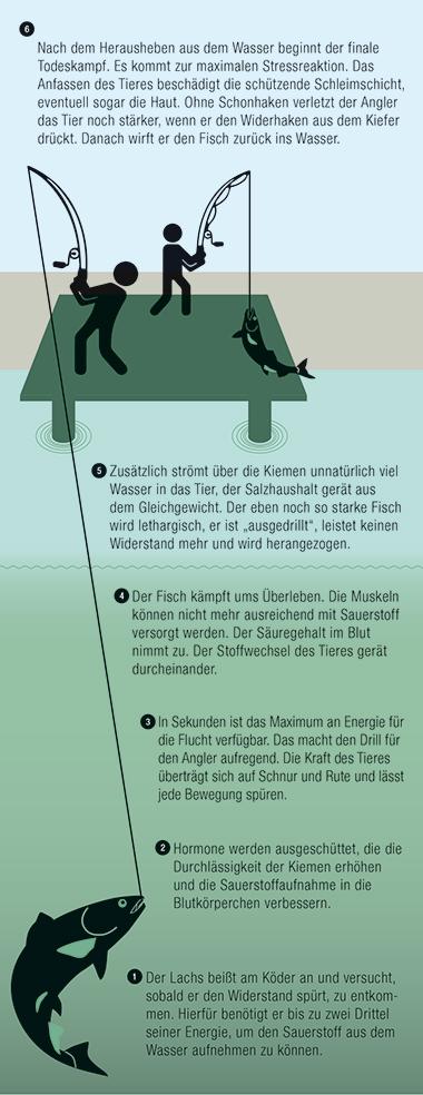 Die Illustration zeigt am Beispiel des Lachses, wie der Körper des Tieres reagiert, sobald es den Köder geschluckt hat.