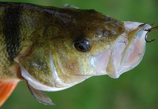 """Wenn, wie in diesem Fall, ein Flussbarsch """"angebissen hat"""", kann sich der Angelhaken schmerzhaft in sein empfindliches Maul bohren. Der Fisch leidet."""