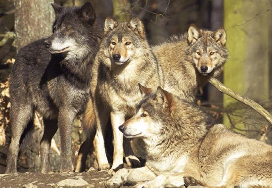 Wölfe leben in einem Rudel mit verwandtschaftlichen Verbindungen.