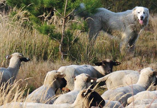 Der Herdenschutzhund hat seine Schafherde stets im Blick. Er stellt sich Angreifern laut bellend entgegen, sobald eine Situation auf ihn bedrohlich wirkt.