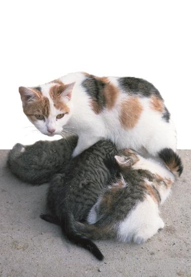 Diese frei lebende Katze versorgt ihren Nachwuchs. Kastrationen würden den unkontrollierten Populationsanstieg verhindern.