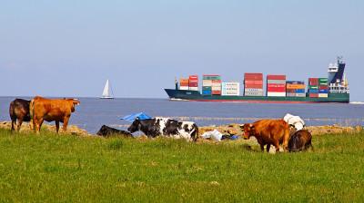 Kühe und Containerschiff.