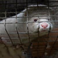 Fotokreditering: Dyrebeskyttelsen Norge og Nettverk for dyrs frihet