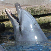 Delfin schaut aus dem Becken eines Delfinariums.