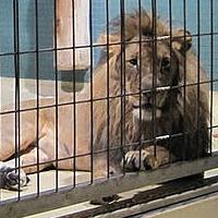 Löwe hinter Gittern in einem Zoo.