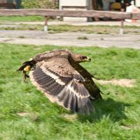 Ein Adler im Flug.