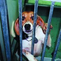 Ein Beagle in einem Labor für Tierversuche.