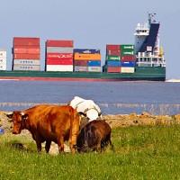 Symbolfoto Freihandelsabkommen TTIP: Kühe vor einem Containerschiff