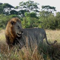Symbolfoto für einen Löwen in Afrika.