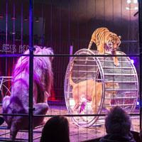 Tiger im Manege eines Zirkus.