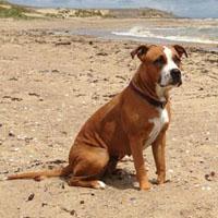 Ein American Staffordshire Terrier am Strand.