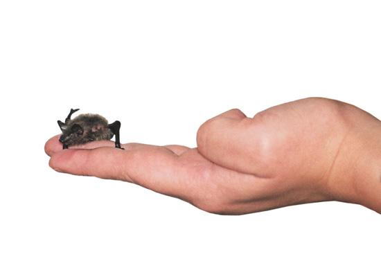 Diese kleine Fledermaus hat in Weidefeld in einem umgerüsteten Munitionsbunker überwintert.