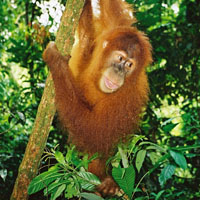 Ein Orang-Utan auf der indonesischen Insel Sumatra.