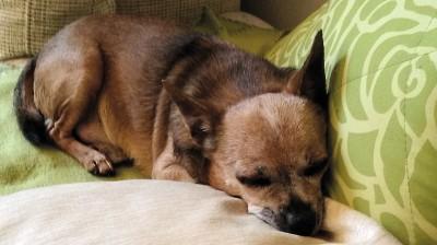 Mithilfe der Registrierung im Deutschen Haustierregister konnte Chihuahua Charly nach fünf Jahren zu seiner Familie zurückkehren.