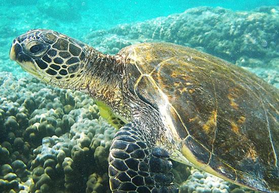 Tausende Meeresschildkröten sterben jährlich als Beifang in den Netzen der globalen Fischindustrie.