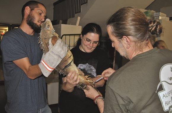 Die Reptilienauffangstation München behandelt einen Leguan.