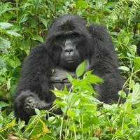 Gorillamutter mit Kind.