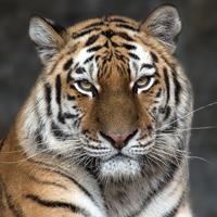 Symbolfoto Tiger.