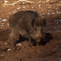 Symbolfoto Wildschwein