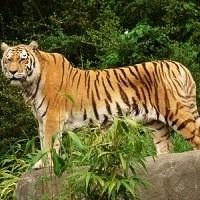 Tiger von Jasmin Staab_pixelio.de
