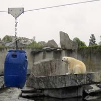 Ein Eisbär in der Wilhelma.