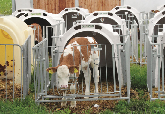 Die Kälber leben direkt nach der Geburt isoliert von ihren Müttern und Artgenossen.