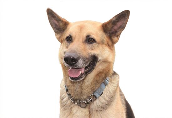 Für Schäferhund Tomba ist es an der Zeit, liebevolle Zweibeiner kennenzulernen.