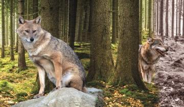 Nicht nur Luchs und Wolf, auch Goldschakal und Elch halten sich inzwischen in deutschen Wäldern auf.