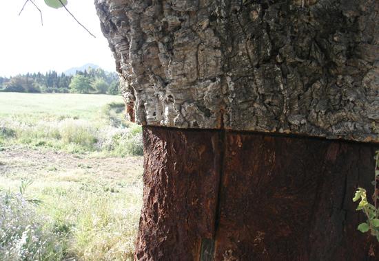 Die Korkeiche ist der einzige Baum, der durch das Schälen seiner Rinde keinen Schaden nimmt.