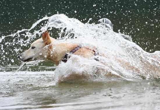 Tägliche Bewegung und Schwimmen im Wasser helfen den Hund dabei abzunehmen.