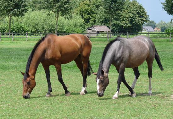 Zwei Pferde genießen die frische Luft und die freie Bewegung auf einer Weide. Es ist wichtig, dass Reiter ihren Pferden genügend Raum für die arteigenen Bedürfnisse geben.