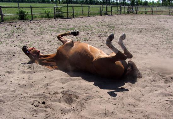 Ein Pferd wälzt sich auf einem Sandpaddock. Erhält das Pferd genügend Ausgleich, macht ihm auch die gemeinsame Arbeit mit dem Menschen Spaß.