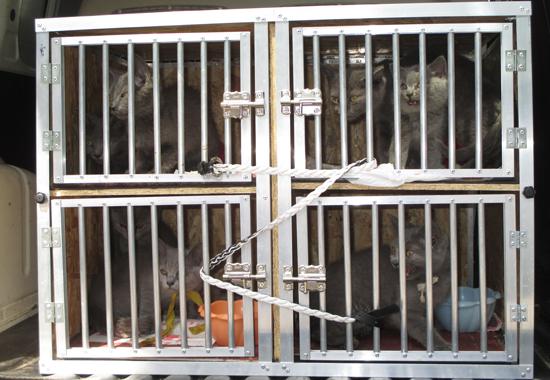 Der Tierschutzverein kümmern sich derzeit um diese von der Polizei beschlagnahmten Katzen.