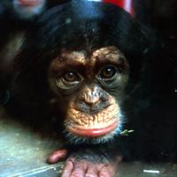 Ein Schimpanse im Tierversuchslabor.