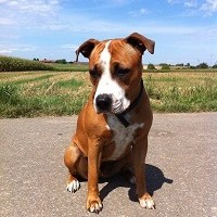Amercian Staffordshire Terrier