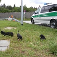 Fünf der sechs beschlagnahmten Welpen bei der Zollkontrolle am Parkplatz Ludersgraben.