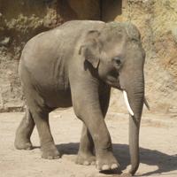 Ein Elefant in einem Zoo.