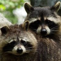 Waschbären stehen auf der Liste sogenannter invasiver Arten der EU.
