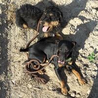 Hund Astor (unten) konnte dank der Registrierung im DHR wieder zu seinem Herrechen zurückgebracht werden.