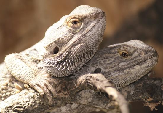 Exotische Tiere wie diese Bartagamen landen immer häufiger in den Tierheimen.