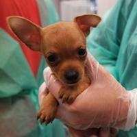 Dieser Welpe wurde mit fünf anderen Chihuahuas illegal nach Deutschland transportiert und lebt derzeit im Tierheim Nürnberg.