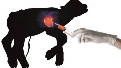 Das Kalb wurde seiner Mutter aus dem Bauch geschnitten. Aus seinem schlagenden Herz wird Blut entnommen – daraus entsteht fötales Kälberserum.
