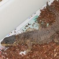 Ein Riesengürtelschweif auf einer Reptilienbörse.