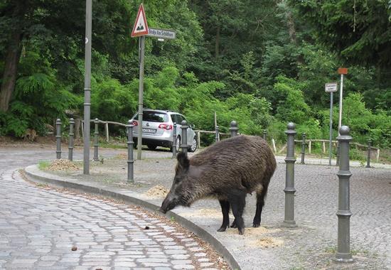 Ein Wildschwein wagt sich in Berlin in städtisches Gebiet.