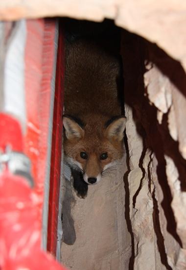 Dieser Fuchs hat ein Gewölbe in der Stadt für sich als Unterschlupf entdeckt.