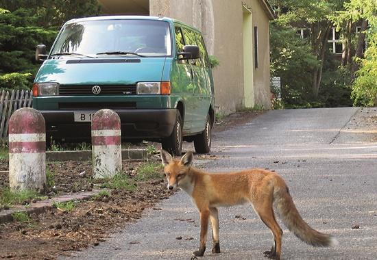 In Berlin keine Seltenheit mehr: Ein Fuchs läuft durch ein Wohngebiet.