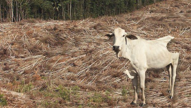 Aufgrund des Fleischhungers der Menschen müssen immer mehr Regenwälder weichen, um neue Weideflächen für Rinder zu schaffen.