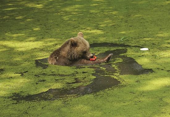 Braunbärin Mascha genießt die Abkühlung im Teich und lässt sich schwimmend das Gemüse schmecken.