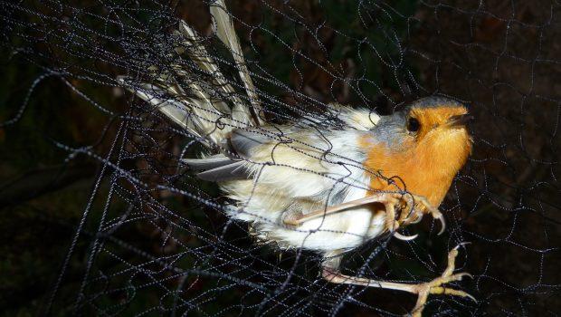 vogel_zugvögel_c_komitee gg den Vogelmord_dudt_03_16_beitragsbild